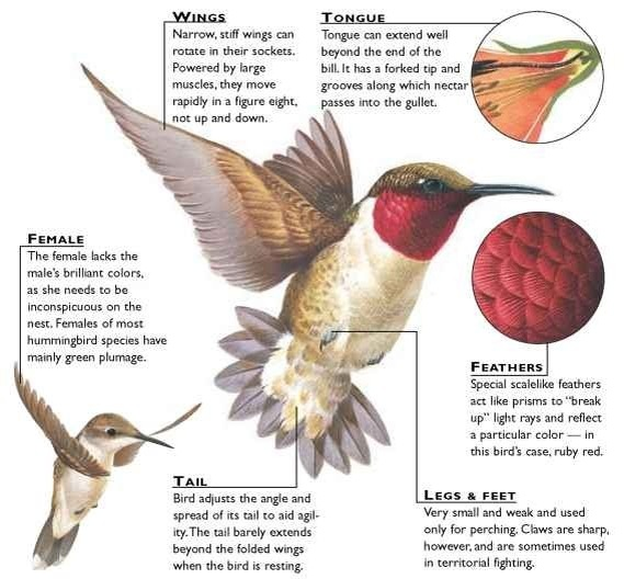 Hummingbird beak diagram - photo#9
